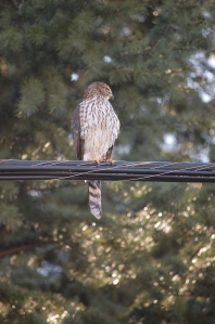 hawk on wire