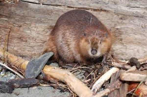 this beaver has no place in an article about birds.