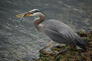 heron at ballard locks in seattle. these guys were almost gone completely because HATS.