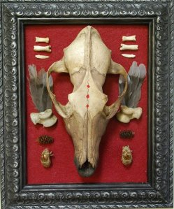 coyote skull taxidermy mount on red fabric