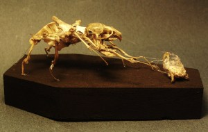 spider rat taxidermy articulation