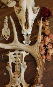 grey fox skull